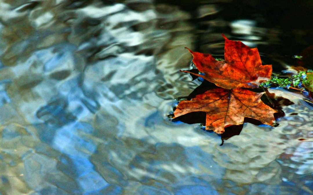 A close up of a single beautiful fall leaf floating on the surface of a pond, fall trees are reflected in the water