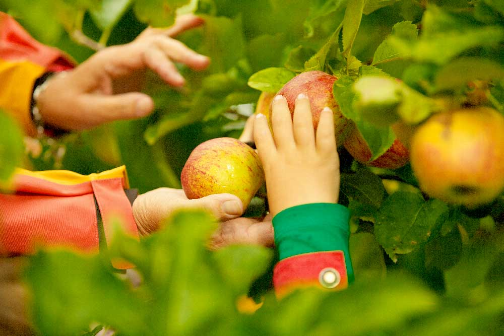 Hand picking apples from the trees